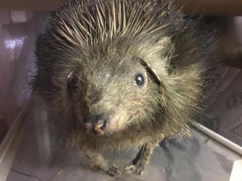 Hedgehog - taxidermy